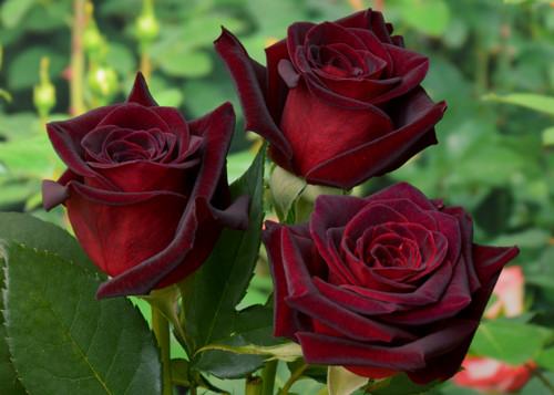 диктант роза
