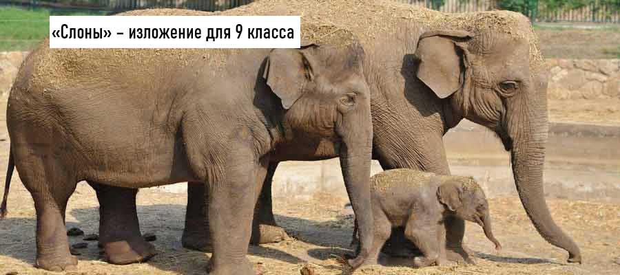 Текст изложения «Слоны» – Русский язык – 9 класс